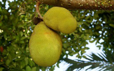 Is jackfruit de ideale vleesvervanger?